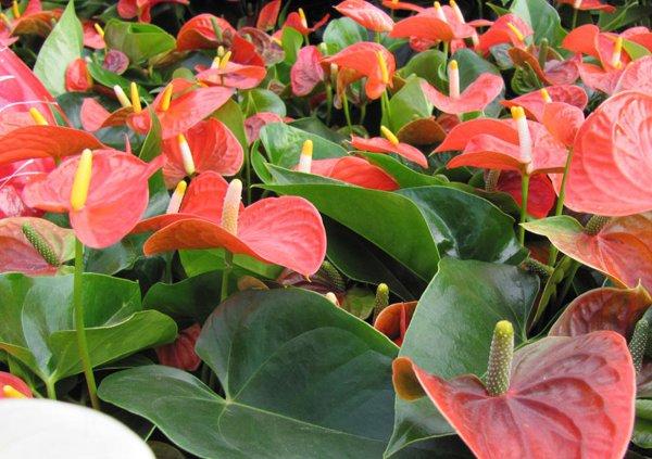 Wie Pflege Ich Meine Topfpflanzen Im Winter? Bild: Flamingoblumen