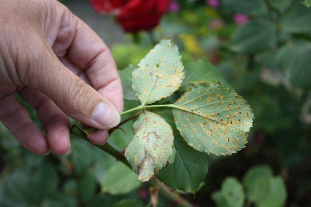 Gemeinsame Gartentipp: Die Rose, Königin der Blumen &XC_53