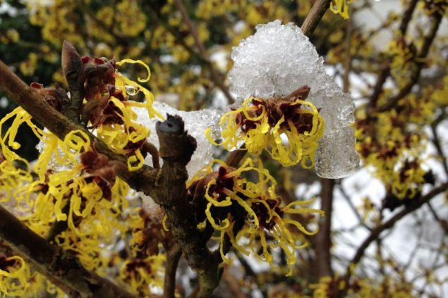 Gartentipp: Blühende Gehölze Im Winter Gartentipps Winter Beachten