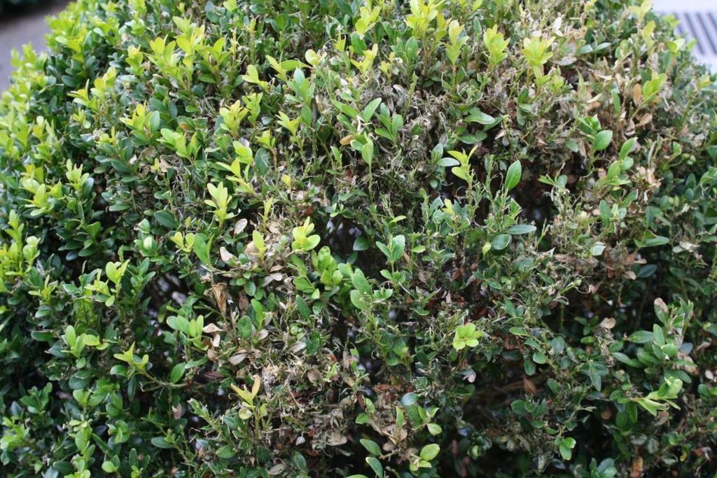 Gartentipp Raupe Bedroht Buchsbaum