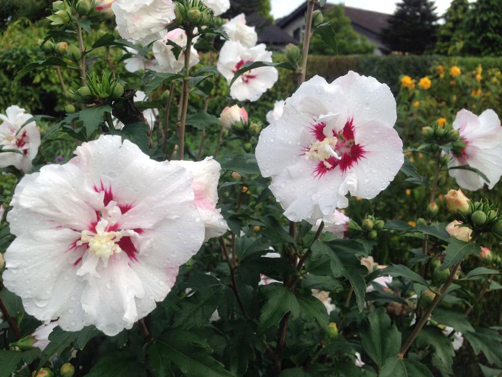 Gartentipp Hibiskus Für Den Garten