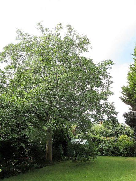 Walnuss, ein stattlicher Hausbaum