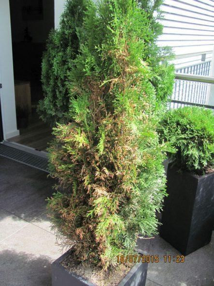 Thuja als Kübelpflanze sind besonders pflegebedürftig (Bild: Franz Beckers)